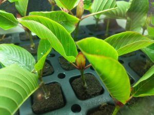 Buy White Vein Vietnam Kratom cuttings