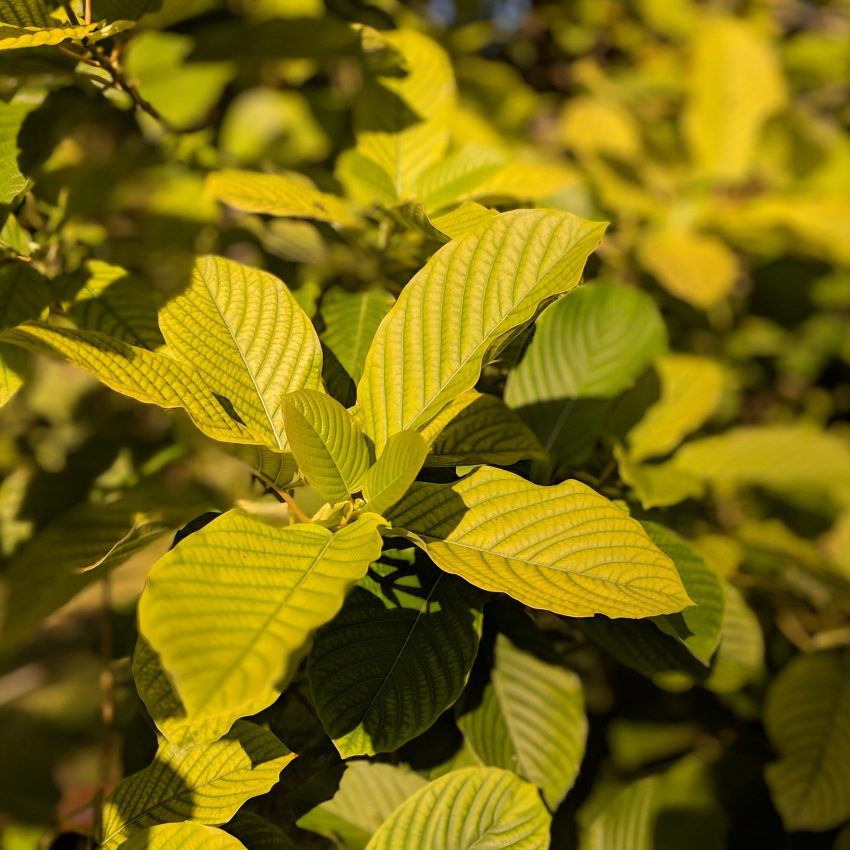 Pink Vein Og bali Kratom leaf for sale free ship
