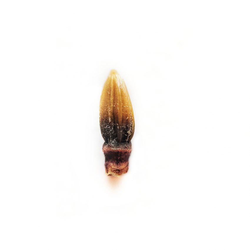 Red Vein Malay Kratom seed pods free ship