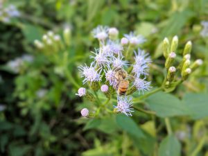 Pollinating Mexican Dream Herb Flowers