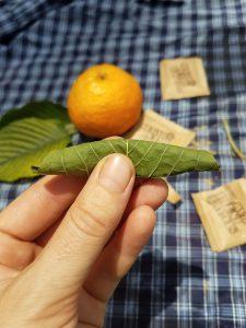 fresh kratom leaf with sugar rolled up