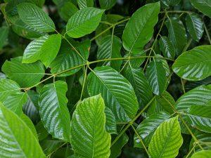 Buy whole fresh Kratom leaves