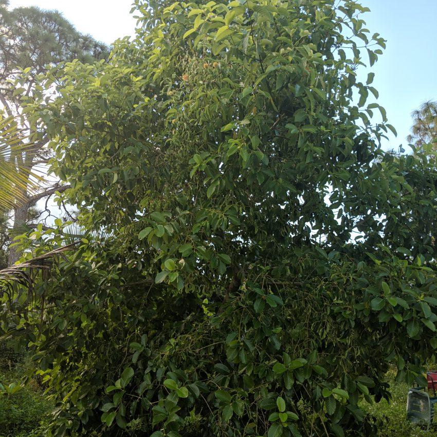 Buy Maeng Da Thai mitragyna speciosa cuttings