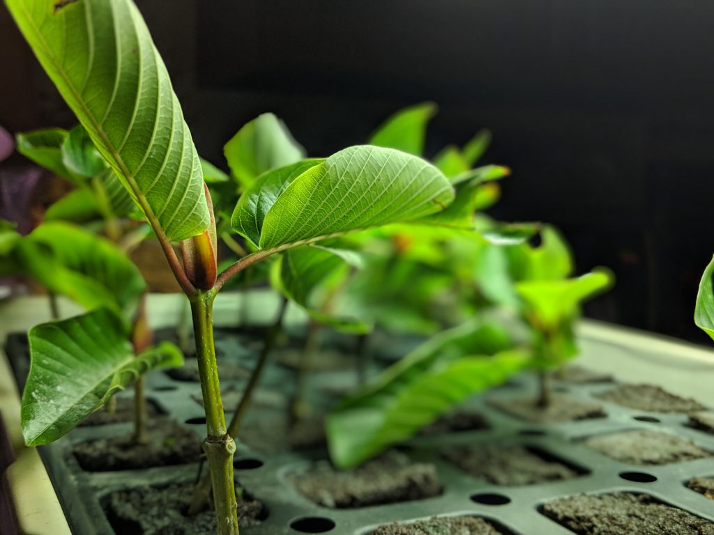 Kratom Cuttings