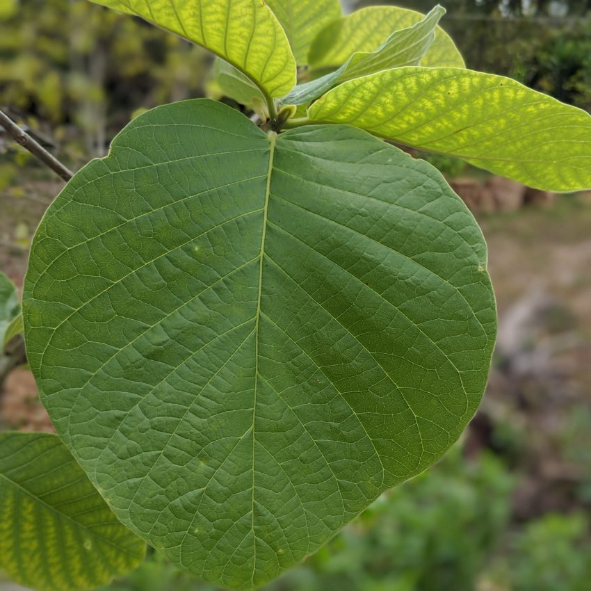 Mitragyna Hirusta Leaf