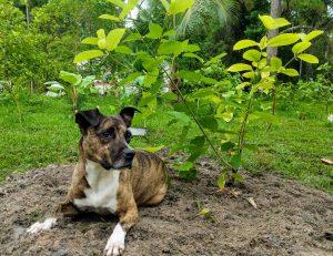 Dog_Under_Kratom_Tree