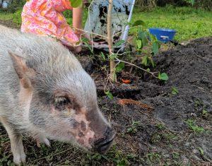 Pig in front of Kratom Tree
