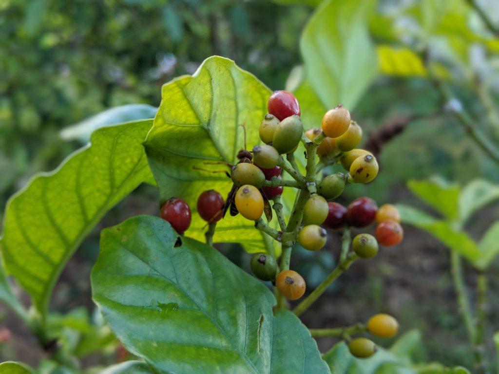 Psychotria Viridis Berries - Fresh Organic Grown in USA